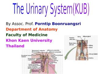 The Urinary system.ppt